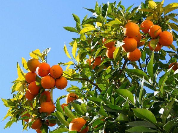 albero_arance_carrettosiciliano